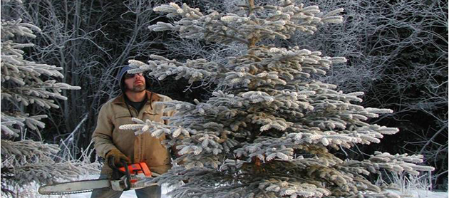 How to harvest an Alaska grown Christmas tree