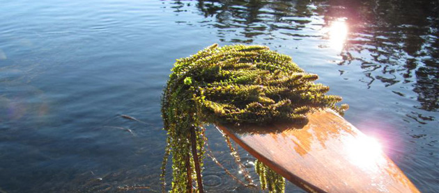 Controlling the spread of Elodea in Alaska