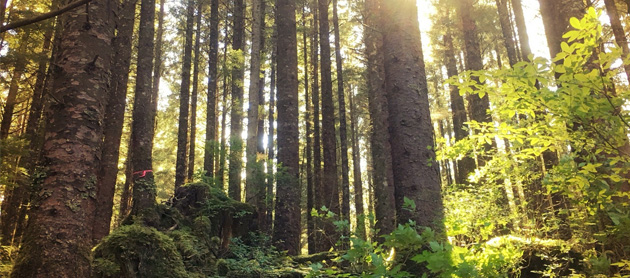 New information available on Tongass young growth