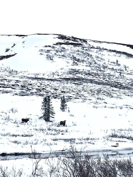 Moose in the Snowy hills