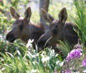 twin baby moose
