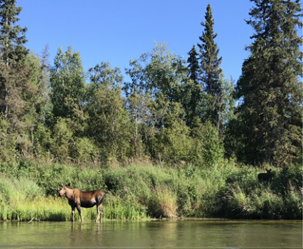 Moose Standing in Little Susitna River